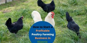 How to Start a Profitable Poultry Farming Business in Nigeria in 2021